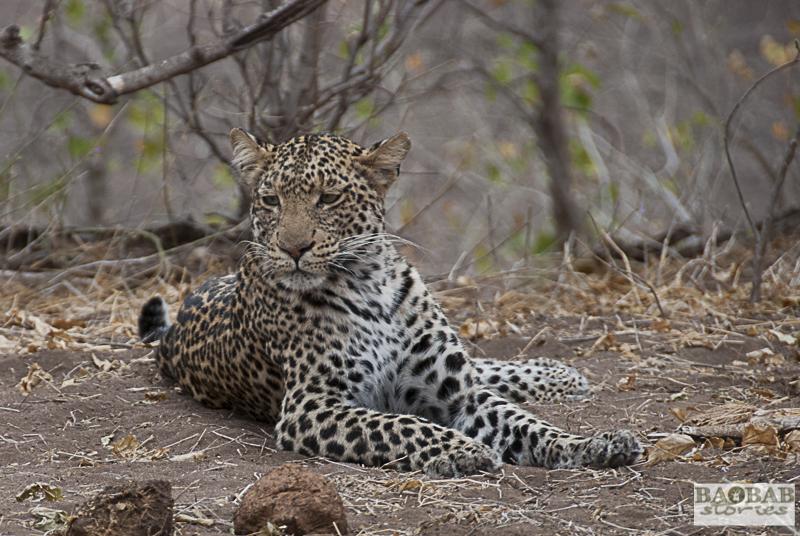 Leopardin, Mashatu Central, Botswana