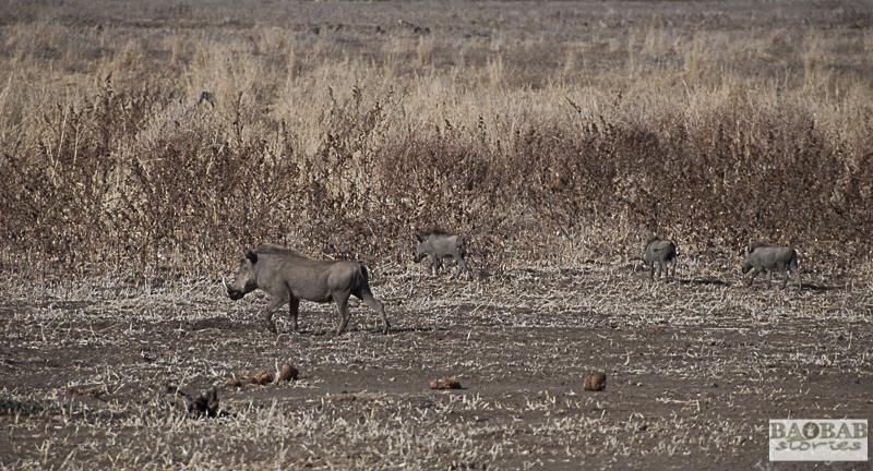 Warzenschweine, Mashatu, Botswana