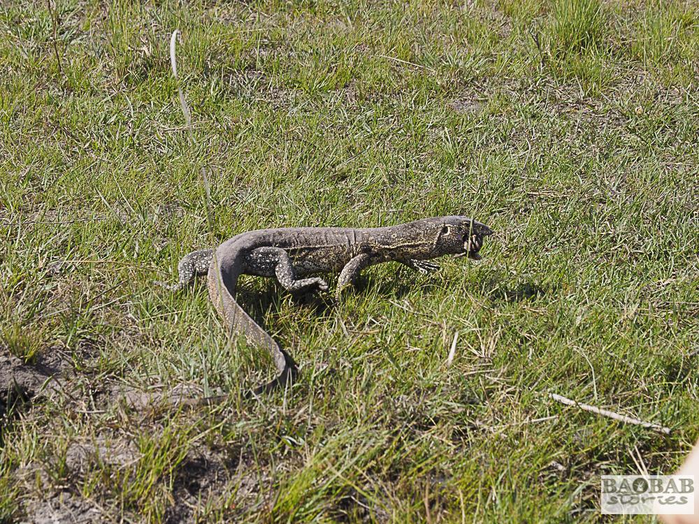 Monitor Lizard, Bwabwata Nationalpark, Namibia, Heike Pander