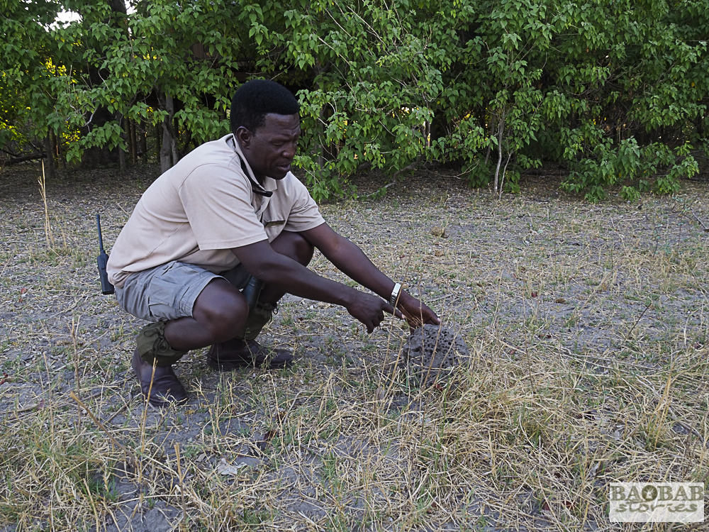 Eustace Libulelo zeigt einen von Termiten umgewandelten Haufen Elefantendung, Nambwa Lodge, Bwabwata NP, Namibia