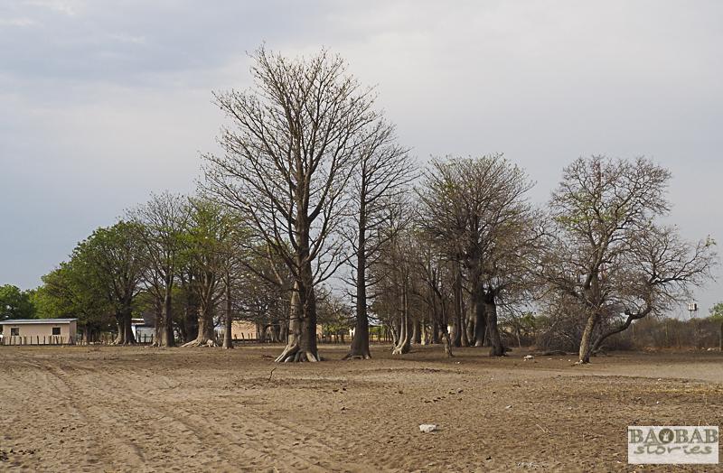 Affenbrotbäume, Tsodilo Hills, Botswana, World Heritage Site, Heike Pander