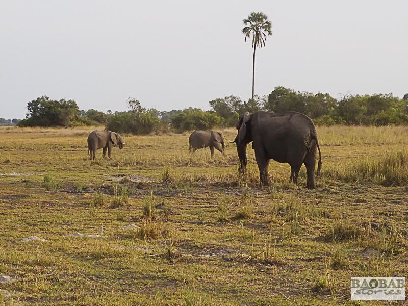 Elefanten, Okavango Delta, Botswana