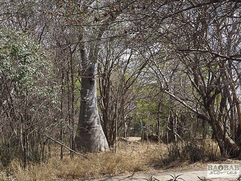 Affenbrotbaum Victoria Falls, Simbabwe, KAZA TFCA, Heike Pander