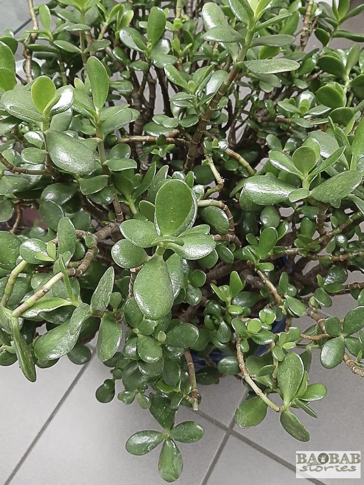 Crassula Ovata oder Geldbaum, Fette Henne, Heike Pander