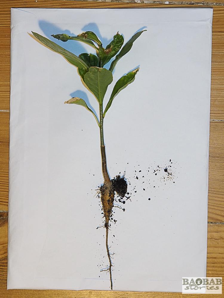 Baobab Topfpflanze mit Pfahlwurzel, wenige Monate alt, Heike Pander