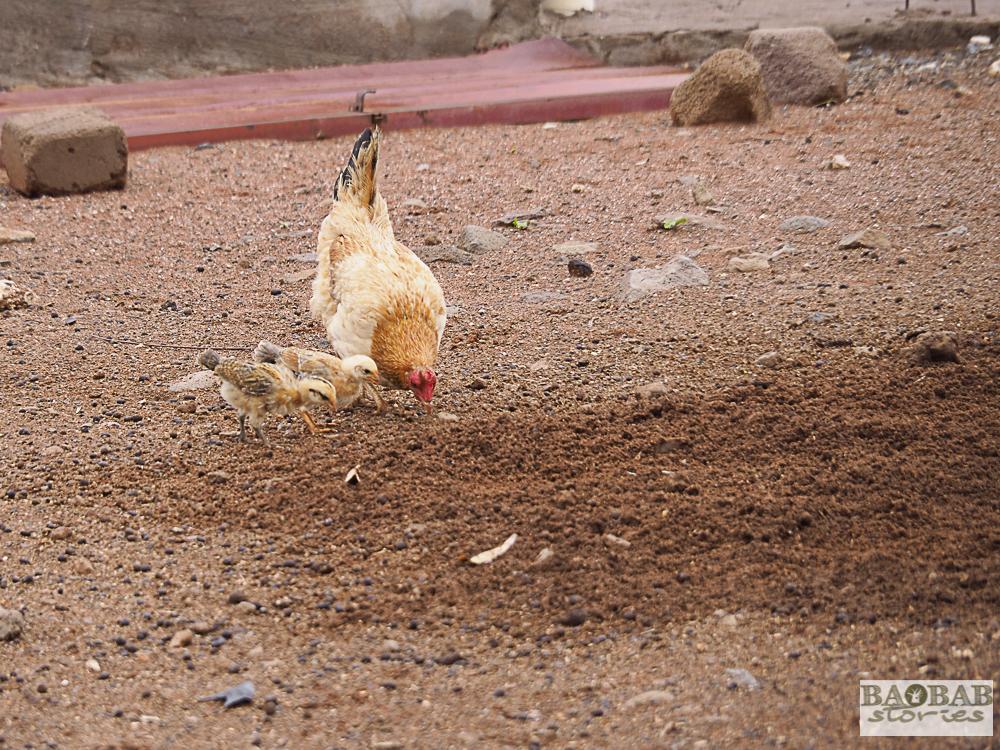 Freilaufende Hühner, Limpopo, Südafrika, Heike Pander