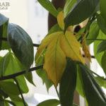 Welkende Blätter am Baobab, Heike Pander