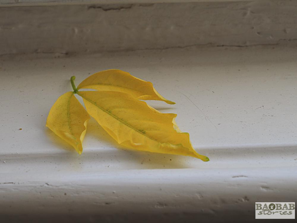 Gelbe Baobab Blätter, Heike Pander
