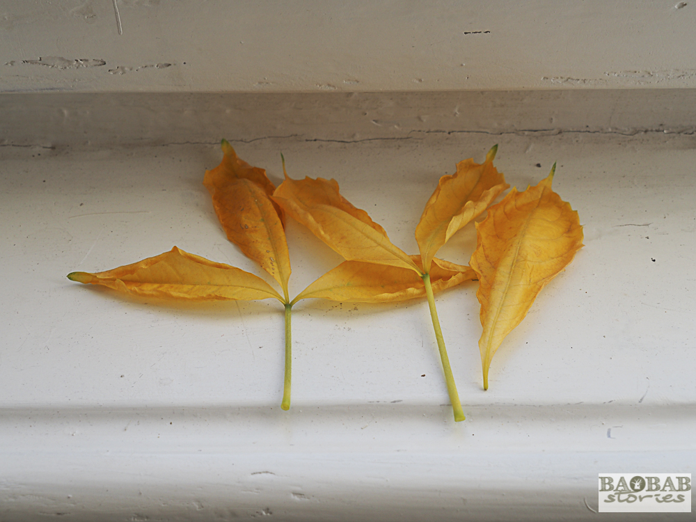 Gelbbraune welke Baobab Blätter, Heike Pander