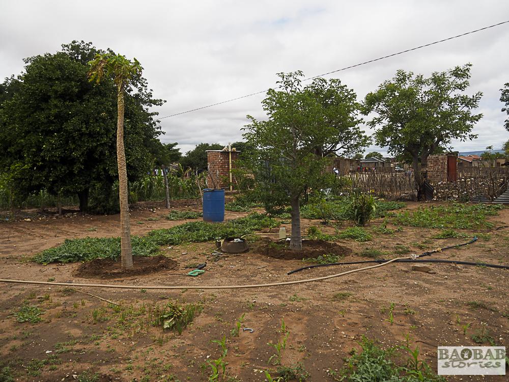 Baobabsetzling, Baobab Guardian Programme, Baobab Foundation, Südafrika