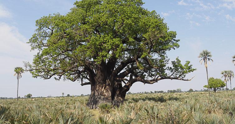 Moremi Baobab, Moremi Game Reserve, Botswana