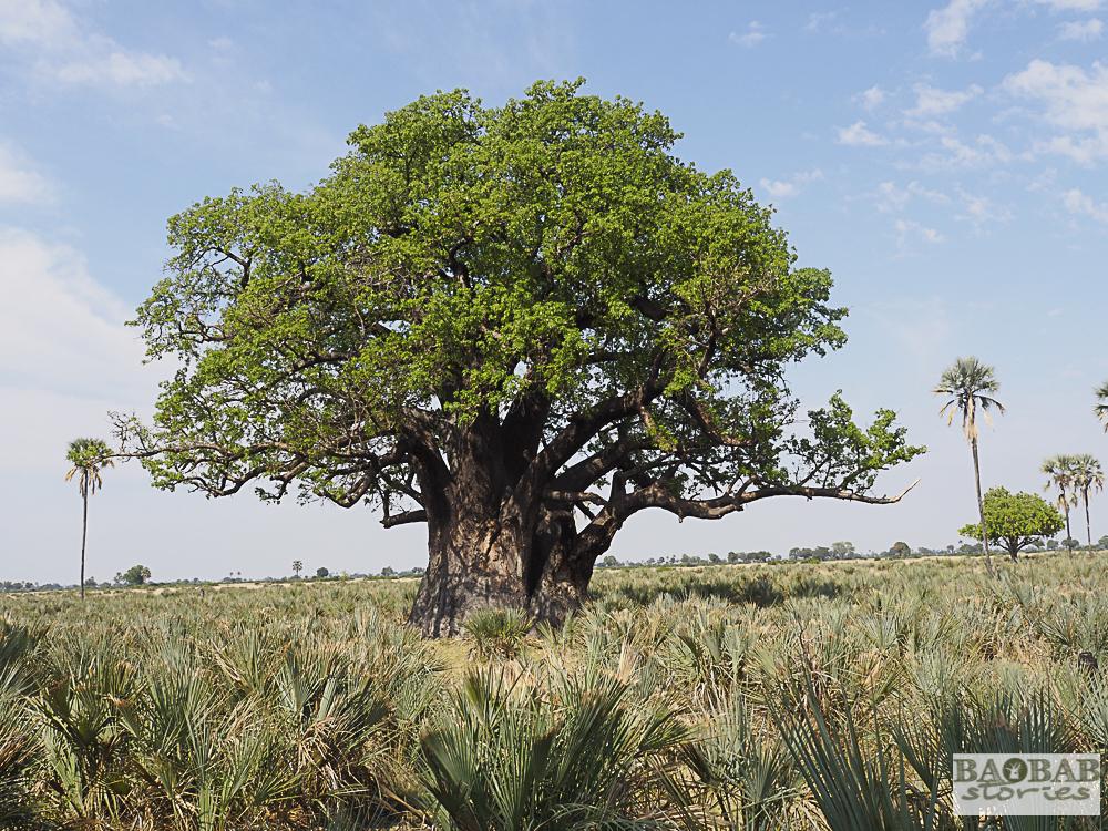 Alter Baobab im Moremi Game Reserve, Botswana