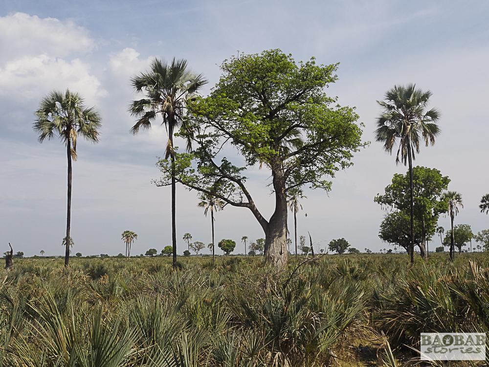 Baobab Nachwuchs im Moremi Reservat