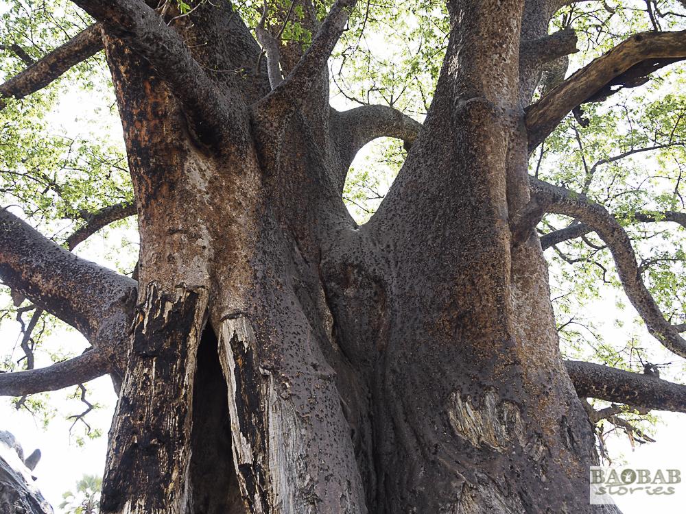 Baobab, Moremi Game Reserve, Botswana