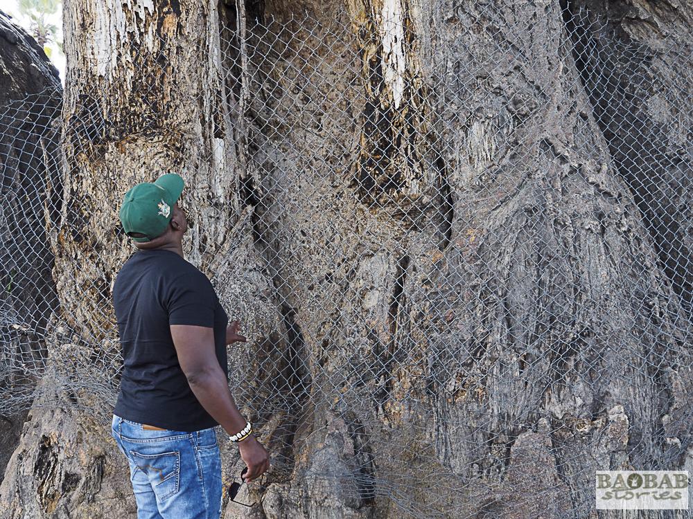 Baobab mit Maschendraht und sichtbaren Kampfspuren