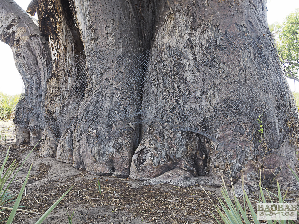 Baobab mit Maschendraht, Moremi Game Reserve, Botswana