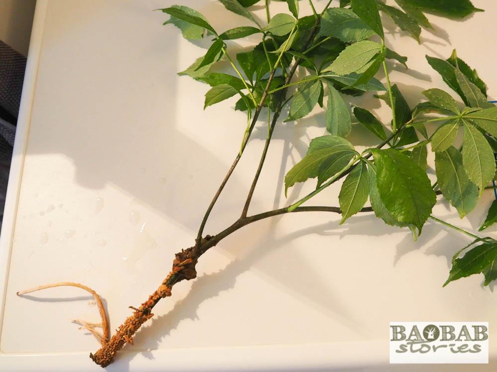 Baobab Wurzel am Rückschnitt