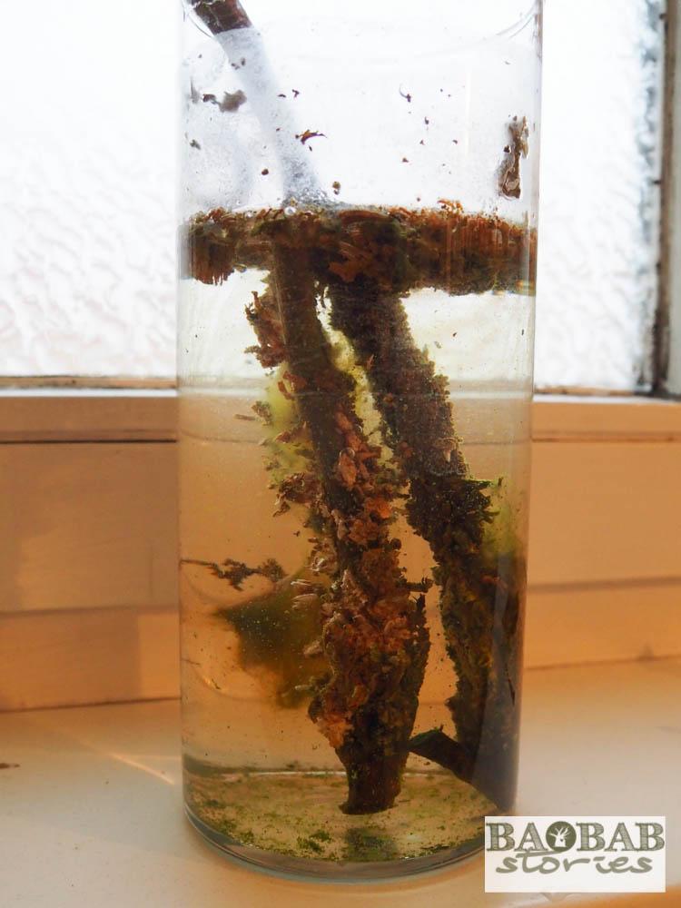 Baobab Gewächse am abgeschnittenen Ast im Wasserbad